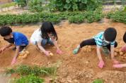 대기초, '건강한 먹거리' 텃밭 감자 캐기