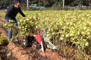 '잎들깨 종자 생산단지 자리매김한다'...전국 잎들깨 종자 생산면적의 30% 차지