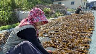[포토뉴스]서해의 하와이 태안 가의도, 자연산 돌미역 첫 수확!