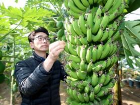 따뜻한 겨울 '열대과일 바나나·파파야 주렁주렁'